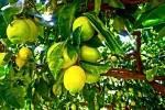 TurismoInCilento.it - B&B,Casevacanze,Hotel - Le Terme di Velia - I nostri limoni BIO